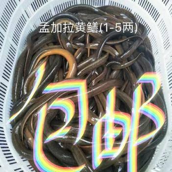 商品黄鳝(1两-5两)