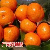 砂糖橘苗 移栽苗 0.2~0.35米