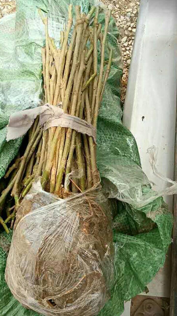 無籽大十果桑苗 無籽多汁 口感純正 產量高 易成活 掛果早