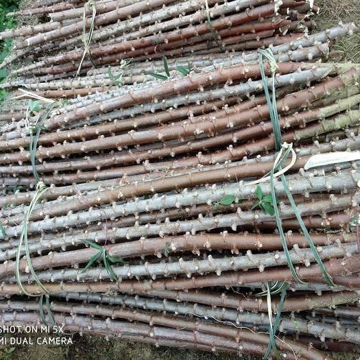 广西壮族自治区玉林市容县高产木薯 高产木薯种苗 木薯苗 木薯种茎