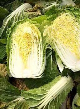 精品黄心菜,白菜只做精品蔬菜,诚信经营质量第一大量供应