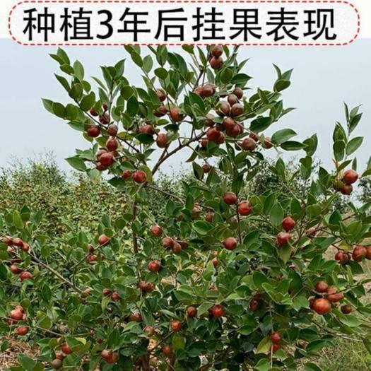 湖南省永州市祁陽縣油茶苗 自產自銷,保品種包郵