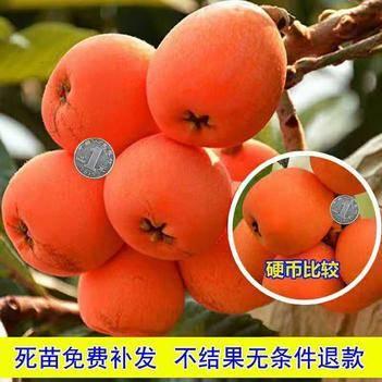 大红袍枇杷苗 包品种,死苗免费补发