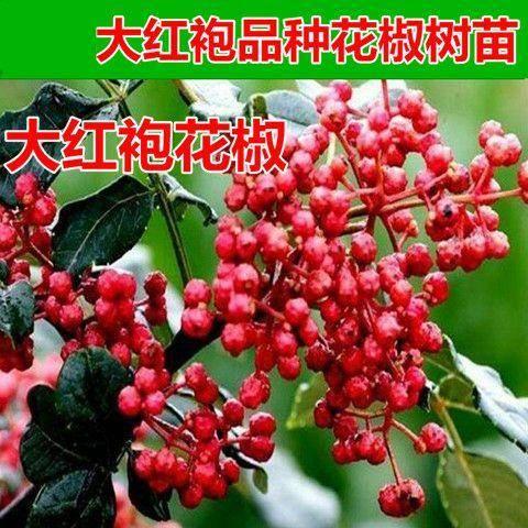 山東省臨沂市平邑縣大紅袍花椒苗 品種齊全