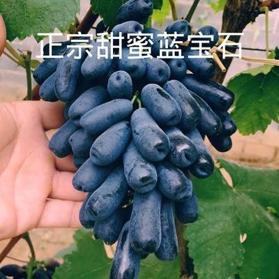 山东省临沂市平邑县蓝宝石葡萄苗 营养杯苗  带种植资料