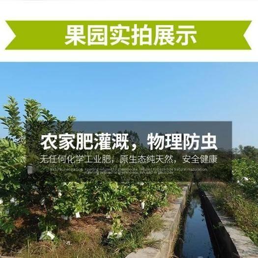 福建省漳州市平和县白心番石榴 150-200克