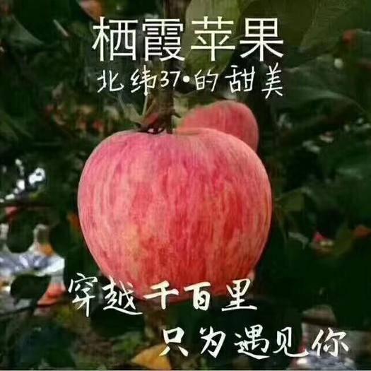 山東省煙臺市棲霞市 煙臺棲霞新蘋果豐收嘍,還是去年的味道,想吃的快來下單吧