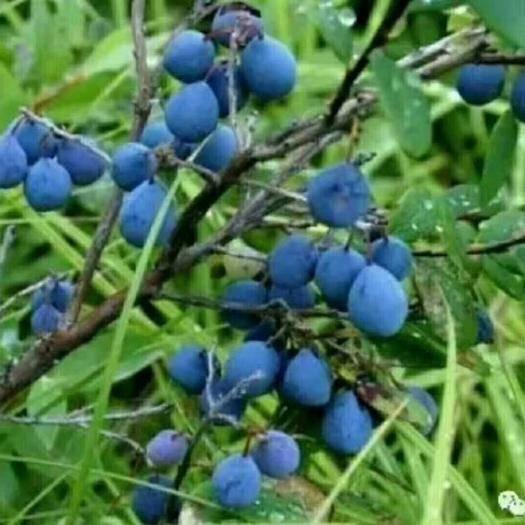 黑龙江省伊春市五营区 野生蓝莓原浆,山茄子原浆,果干