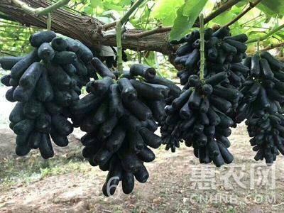 藍寶石葡萄苗 帶營養杯帶葉發貨