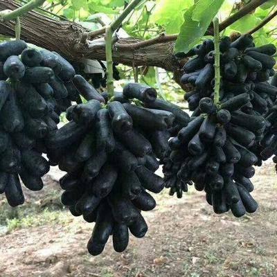 山東省臨沂市平邑縣藍寶石葡萄苗 帶營養杯帶葉發貨