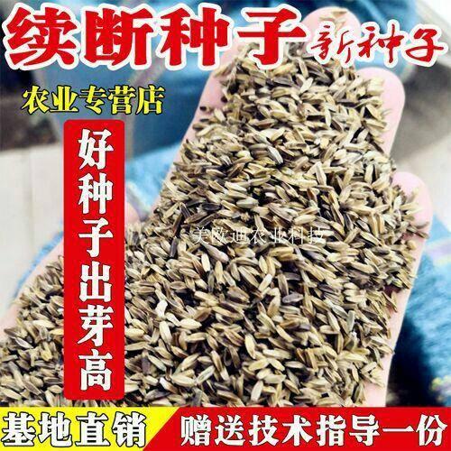 云南省昆明市官渡区续断 种子(高出芽)新种子