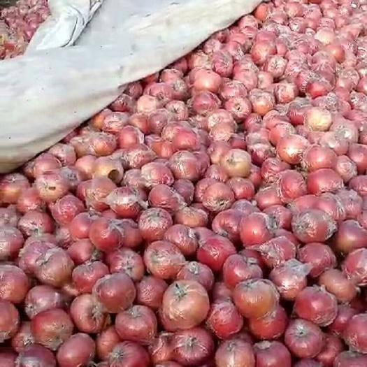 山東省濰坊市寒亭區富士王蘋果 80mm以上 條紅 膜袋