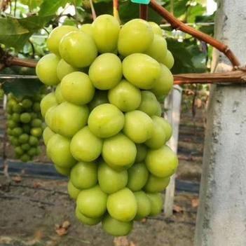 陽光玫瑰葡萄苗  保品種 當年結果苗