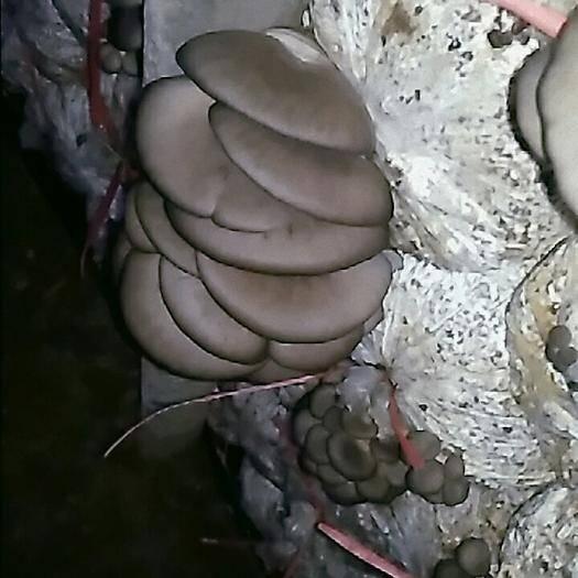 河北省邯郸市临漳县蘑菇 箱装 半年