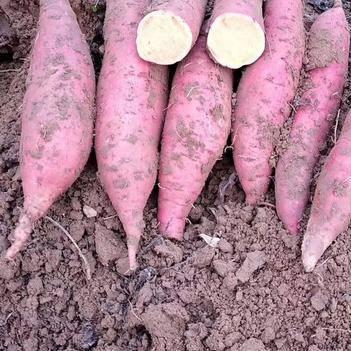 西瓜红红薯 3两~6两 红皮