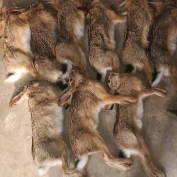 野兔 3-5斤