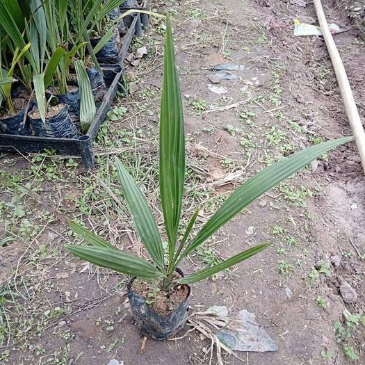 广东省佛山市三水区中东海枣 袋苗庭院四季常绿植物