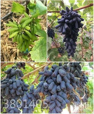 藍寶石葡萄苗