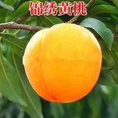 錦繡黃桃苗 1~1.5米