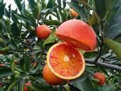 血橙苗  0.5米以下 嫁接苗 正品行貨,根好苗壯,提供技術