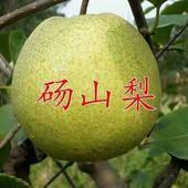 砀山县梨树苗 1~1.5米