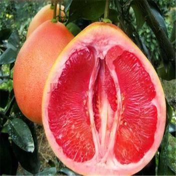 紅心柚苗 嫁接苗品種齊全包成活包品種