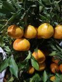 甘平柑橘苗 嫁接苗 1~1.5米
