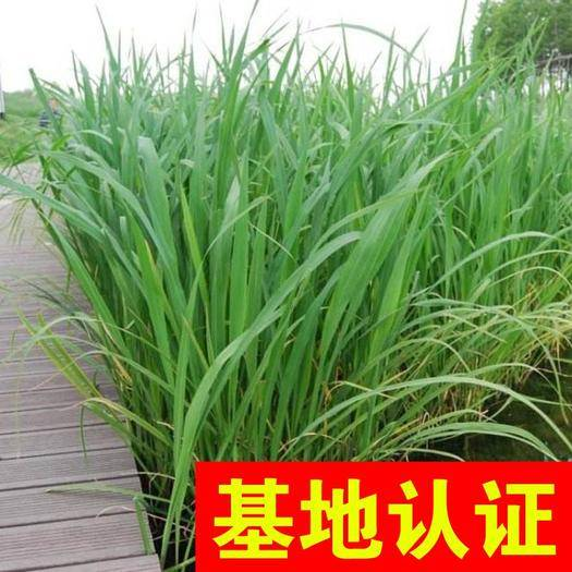 浙江省杭州市萧山区 野茭白 湿地河道绿化工程 基地认证