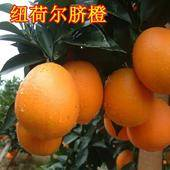 紐荷爾臍橙苗 嫁接苗 1~1.5米