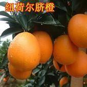 纽荷尔脐橙苗 嫁接苗 1~1.5米