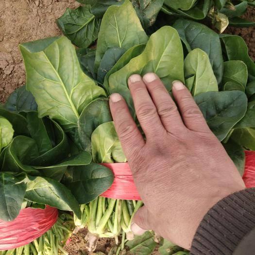 山东省滨州市惠民县 大叶菠菜,山东万亩菠菜基地大量供货中!