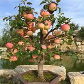 矮化红富士苹果苗 1~1.5米