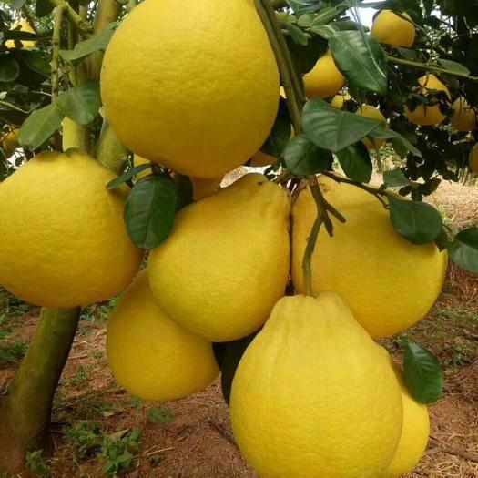廣西壯族自治區玉林市容縣沙田柚 容縣產地直供口感好水分足純甜