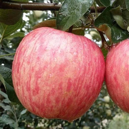 陜西省延安市洛川縣紅富士蘋果 90mm以上 片紅 紙+膜袋