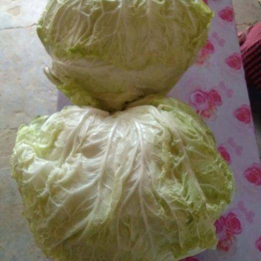 山東省聊城市冠縣德高80大白菜 6~10斤 凈菜
