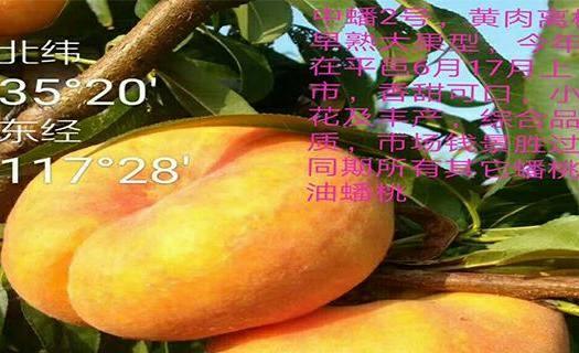 山東省濟南市章丘區中蟠2號桃苗 1~1.5米