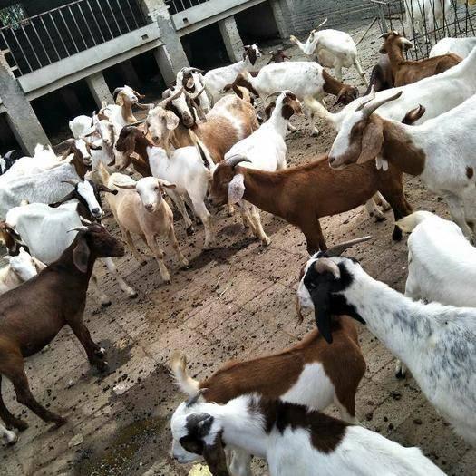 湖北省天门市天门市 父母外出种山羊全部低价出售