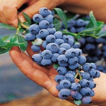 兔眼藍莓苗 免運費  帶土發貨
