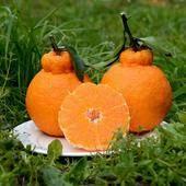 不知火苗 包品種包郵,中國最丑橘,最火橘