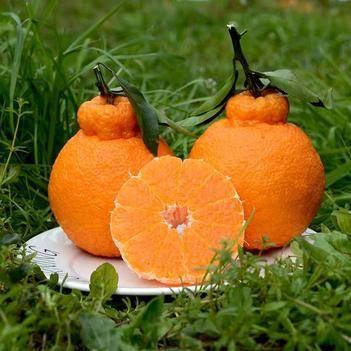 不知火苗 包品种包邮,中国最丑橘,最火橘