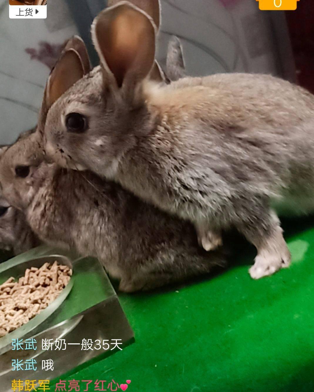比利時雜交野兔包品質包活嚴格把手公母發貨一斤一二兩左右的重量