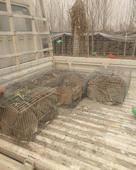 雜交野兔 1-3斤