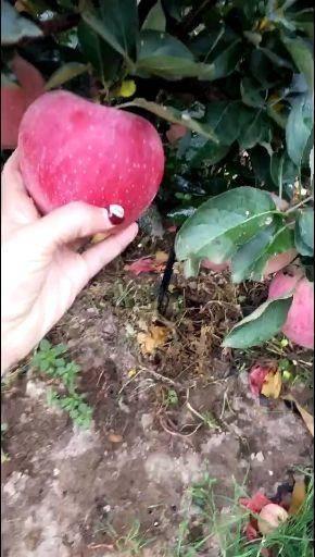 山東省臨沂市沂水縣棲霞蘋果 75mm以上 條紅 紙袋