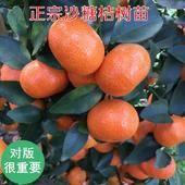 砂糖橘苗 嫁接苗 1~1.5米