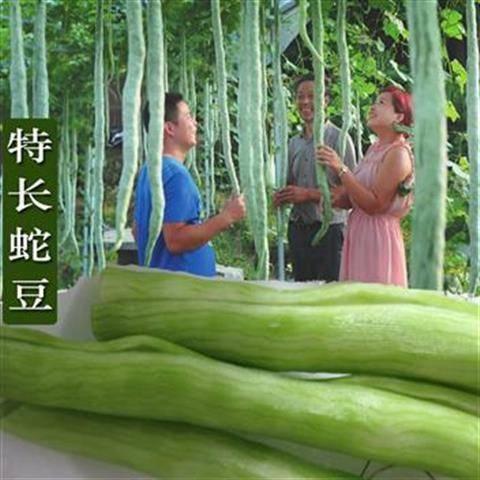 江西省南昌市南昌縣蛇瓜 特長蛇豆種子