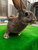 比利時野兔 雜交野兔20+每只50元 10只+每只60元 2只+每只70