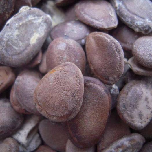 四川省廣元市蒼溪縣瓜蔞籽  正宗雙邊,含量高瓜米