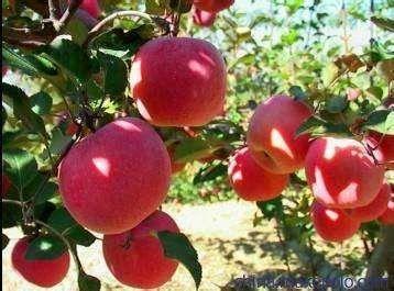 山東省棗莊市滕州市紅富士蘋果 90mm以上 條紅 紙袋