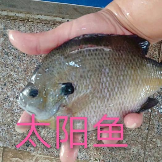 广东省肇庆市鼎湖区金边太阳鱼