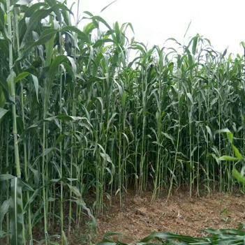 甜高粱種子 進口大力士甜高粱,產量特高,養殖專用牧草種子